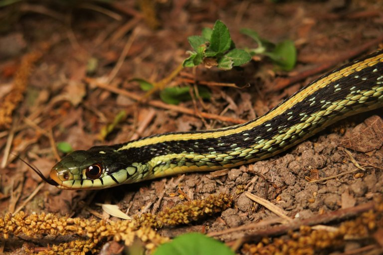 Texas Garter Snake (Thamnophis sirtalis annectens) – alephrocco