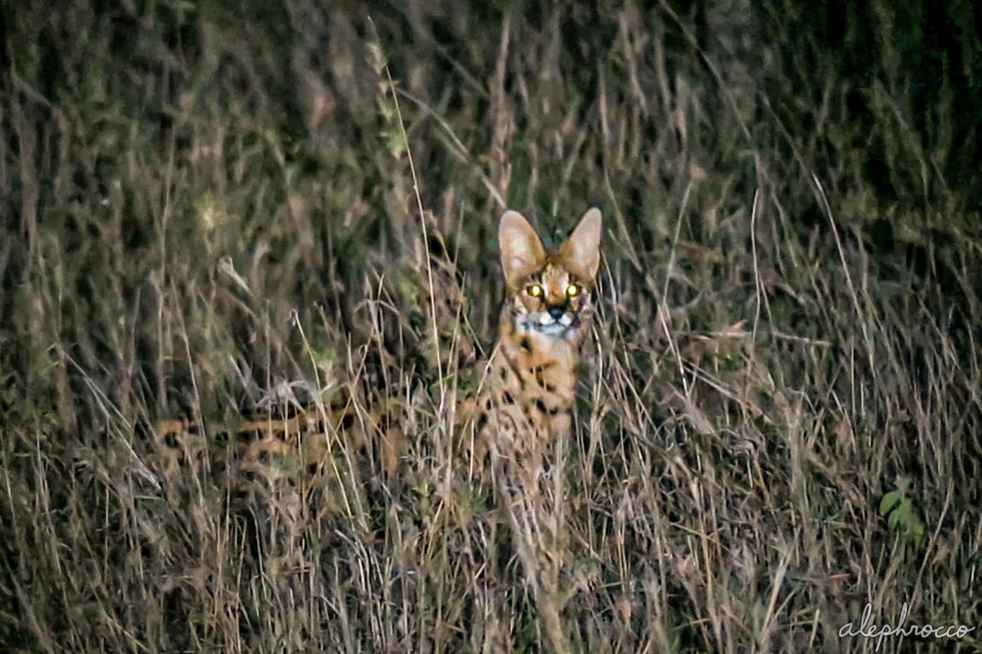 serval_w